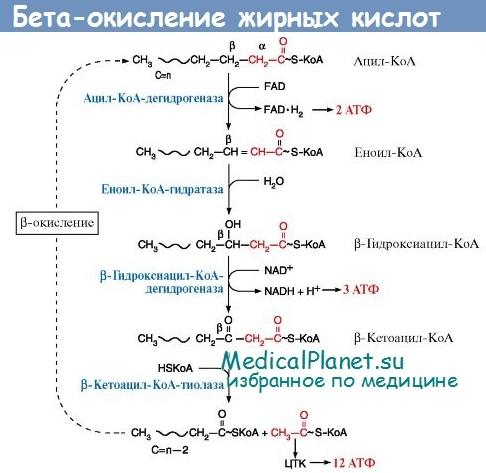бета-окисление жирных кислот