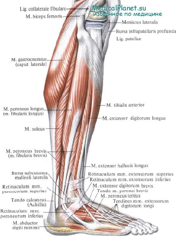 Латеральная группа мышц голени.
