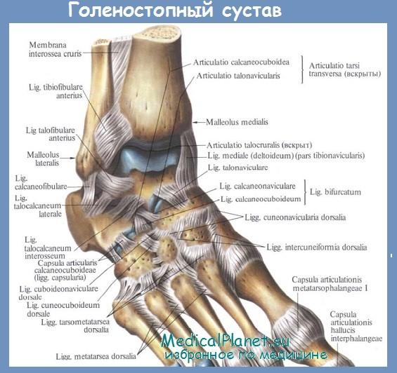Анатомия голеностопного сустава - строение, функции
