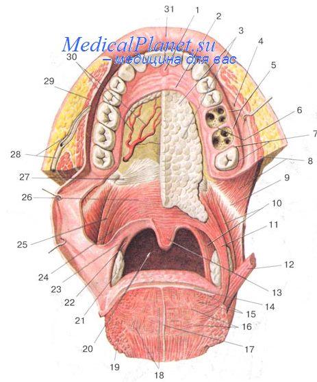 Строение челюстей с точки зрения стоматолога ...