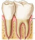 физиология зубов